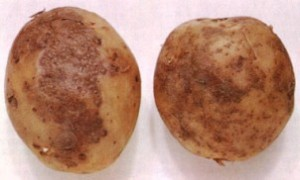 парша картофеля меры борьбы